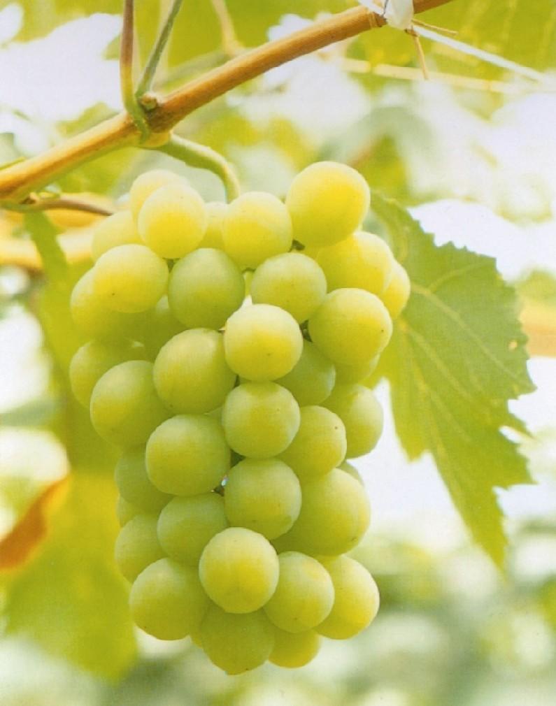 Las uvas en la mesa sabores de bolivia - Variedades de uva de mesa ...