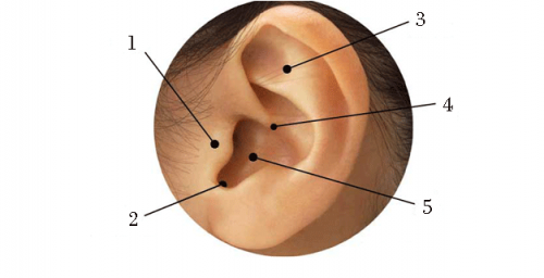 puntos especificos de acupuntura para adelgazar